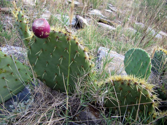 Pin figuier de barbarie opuntia ficus indica les taxinomes on pinterest - Bouture figuier de barbarie ...